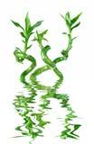 Lucky Bamboo Dracaena Sanderiana in een water wordt weerspiegeld dat Royalty-vrije Stock Afbeeldingen