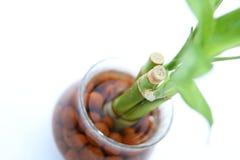 Lucky bamboo (Dracaena sanderiana) section closeup Royalty Free Stock Photo