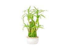 Lucky bamboo (Dracaena sanderiana) Royalty Free Stock Photos