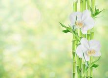 Lucky Bamboo e duas flores da orquídea no fundo branco imagens de stock royalty free