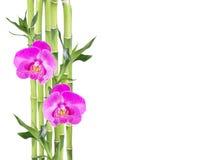 Lucky Bamboo en twee orchideebloemen op witte achtergrond Royalty-vrije Stock Afbeeldingen