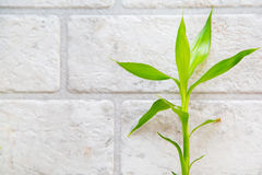 Lucky bamboo  on the grey brick wall background Royalty Free Stock Photography