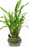 Lucky Bamboo House Plant Royalty Free Stock Photo