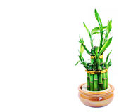 Lucky bamboo isolated on a white background Royalty Free Stock Image