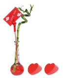 Lucky bamboo for lover. Mothersday or fathersday Stock Photo