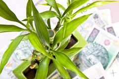 Lucky bamboo on money's background. Royalty Free Stock Images