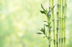 Lucky Bamboo on natural background Stock Photos