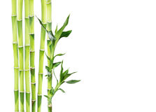 Lucky Bamboo op witte achtergrond Stock Fotografie