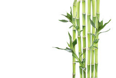 Lucky Bamboo op witte achtergrond Royalty-vrije Stock Afbeeldingen