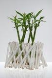 A lucky bamboo plant Stock Photos