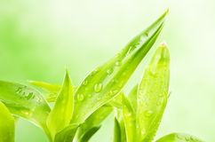 A lucky bamboo plant Stock Image