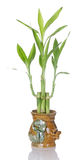 Lucky Bamboo Plant In Ceramic Pot Royalty Free Stock Images