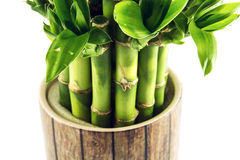 Lucky bamboo plant Stock Photography