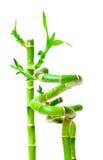 Lucky Bamboo Plant (Dracaena sanderiana) Stock Photography