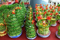 Lucky Bamboo Plants Royalty Free Stock Photography