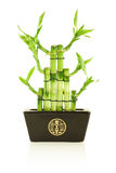 Lucky bamboo in pot. Isolated on white Stock Photos