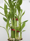 Lucky bamboo Stock Photo