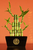 Lucky bamboo on the shelf. Against red wall Royalty Free Stock Images