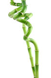 Lucky bamboo stems Stock Images