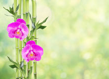 Lucky Bamboo and two orchid flowers on natural green background. Several stem of Lucky Bamboo Dracaena Sanderiana with green leaves and two pink orchid flowers Royalty Free Stock Image