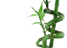 Lucky bamboo on white Stock Photo