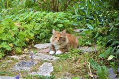 A lucky cat in the garden. A peaceful red cat in his garden, basking in the sun royalty free stock photography