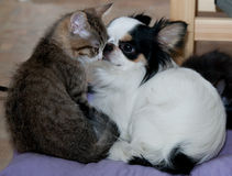 Lucky cats and Chihuahua dog. Love. Kitten four months Royalty Free Stock Images