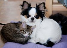 Lucky cats and Chihuahua dog. Love. Kitten four months. Three kittens sleep in a basket .Siberia cat Royalty Free Stock Image