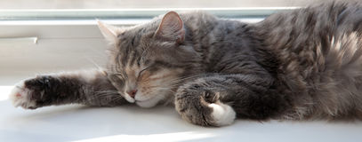 Lucky cats. Lucky grey cats sleep .Siberia cat stock photography