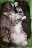 Lucky cats. Love. Kitten four months Royalty Free Stock Images