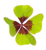 Lucky  clover. Four leaf clover  symbol of good luck Stock Photo