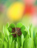 Lucky clover Royalty Free Stock Photo