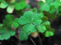 Lucky Clover. Clover close up macro Royalty Free Stock Image