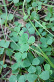 Lucky clover with five leaves Royalty Free Stock Image