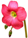 Lucky clover flower. Pink Lucky clover flower, realistic, mesh Stock Photos