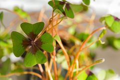 Lucky clover, four-leaf sorrel with 4 hairy leaflets, also called Iron Cross stock photography