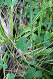 Lucky clover with four leaves Stock Images