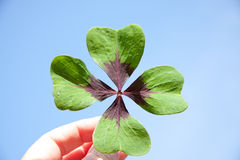 A lucky clover in a persons hand Royalty Free Stock Photography