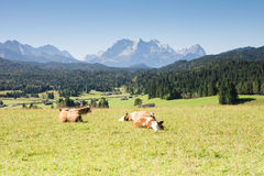 Lucky Cows Royalty Free Stock Photos