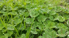 Lucky Dew Drops. On a cool misty day I found the dew on these clovers very charming; green paradise Royalty Free Stock Photography