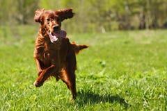 Lucky dog Irish setter playing Stock Photography