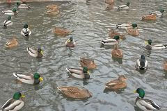 Lucky Ducks photo libre de droits