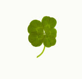 Lucky Five Leaf Clover. Lucky ioslated five 5 leaf clover Royalty Free Stock Photo