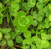 Lucky Four Leaf Clover. Single four leaf clover in a clover patch Stock Photo