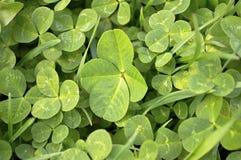 Lucky four leaf clover. Stock Photos