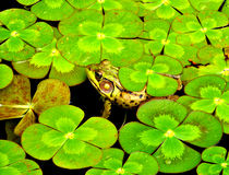 Lucky Frog. A frog in the pond surrounded by aquatic plants that look like 4 leaf clovers Royalty Free Stock Images