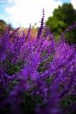 Lucky Heather. Taken in the Royal Botanic Gardens, Sydney Royalty Free Stock Photo