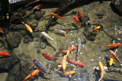 Lucky Koi Royalty Free Stock Images