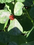 Lucky Lady Bug Royalty Free Stock Photos
