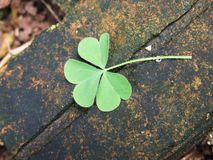Lucky Four Leaf Clover Stock Image